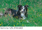 Купить «Border Collie, working dog in field, Wales, UK», фото № 25318643, снято 19 июля 2018 г. (c) Nature Picture Library / Фотобанк Лори