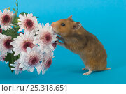 Купить «Pet domestic hamster (Mesocritecus auratus) sniffing flowers, UK», фото № 25318651, снято 19 августа 2018 г. (c) Nature Picture Library / Фотобанк Лори