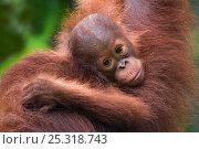 Orang utan (Pongo pygmaeus) head portrait of baby, Semengoh Nature reserve, Sarawak, Borneo, Malaysia, Endangered. Стоковое фото, фотограф Edwin Giesbers / Nature Picture Library / Фотобанк Лори