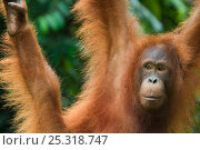 Orang utan (Pongo pygmaeus) portrait, swinging, Semengoh Nature reserve, Sarawak, Borneo, Malaysia, Endangered. Стоковое фото, фотограф Edwin Giesbers / Nature Picture Library / Фотобанк Лори