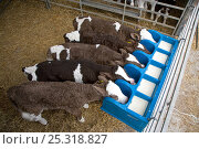 Купить «Domestic cattle, feeding milk to five friesian dairy calves in rearing shed, UK, November 2007», фото № 25318827, снято 26 мая 2019 г. (c) Nature Picture Library / Фотобанк Лори