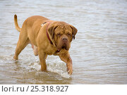 Купить «Domestic dog, Dogue de Bordeaux, walking through sea water.», фото № 25318927, снято 26 мая 2019 г. (c) Nature Picture Library / Фотобанк Лори