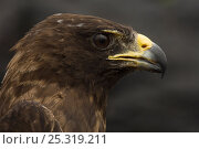 Купить «Galapagos hawk (Buteo galapagoensis) captive, caught for research purposes, Espanola Island, Galapagos Islands, Endemic, Vulnerable species», фото № 25319211, снято 7 июля 2020 г. (c) Nature Picture Library / Фотобанк Лори