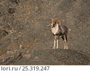 Male Argali sheep (Ovis ammon) standing on mountain side, Gobi National Park, Mongolia. Стоковое фото, фотограф Eric Dragesco / Nature Picture Library / Фотобанк Лори