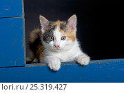 Купить «Domestic cat, tortoiseshell kitten in blue shed», фото № 25319427, снято 26 мая 2019 г. (c) Nature Picture Library / Фотобанк Лори