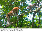 Купить «Proboscis Monkey, (Nasalis larvatus) male in confrontation with Crab eating macaque (Macaca fascicularis) Bako National Park, Sarawak, Borneo, Malaysia», фото № 25319535, снято 28 мая 2018 г. (c) Nature Picture Library / Фотобанк Лори