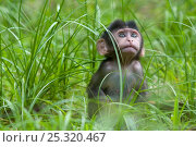 Long-tailed / Crab-eating macaque (Macaca fascicularis) portrait of baby sitting in long grass, Bako National Park, Sarawak, Borneo, Malaysia. Стоковое фото, фотограф Edwin Giesbers / Nature Picture Library / Фотобанк Лори