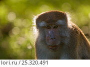 Long-tailed / Crab-eating macaque (Macaca fascicularis) head portrait, Bako National Park, Sarawak, Borneo, Malaysia. Стоковое фото, фотограф Edwin Giesbers / Nature Picture Library / Фотобанк Лори