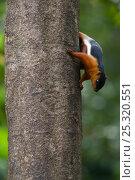 Prevost's Squirrel (Callosciurus prevosti borneoensis) climbing down tree trunk, Sarawak, Borneo, Malaysia. Стоковое фото, фотограф Edwin Giesbers / Nature Picture Library / Фотобанк Лори