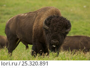 American bison (Bison bison) male in rut, flehmen response, Wyoming... Стоковое фото, фотограф John Cancalosi / Nature Picture Library / Фотобанк Лори