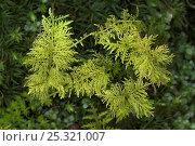 Купить «Feather moss (Thuidium tamariscinum) Kingcombe, Dorset, UK March», фото № 25321007, снято 15 ноября 2018 г. (c) Nature Picture Library / Фотобанк Лори