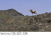 Large male Argali sheep (Ovis ammon) standing on mountain side, Gobi National Park, Mongolia. Стоковое фото, фотограф Eric Dragesco / Nature Picture Library / Фотобанк Лори