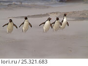 Купить «Five Rockhopper Penguins (Eudyptes chrysocome) making their way in sand storm back to their rookery. Saunders Island in the Falkland Islands.», фото № 25321683, снято 18 сентября 2019 г. (c) Nature Picture Library / Фотобанк Лори