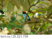 Купить «Male Blue Manakin (Chiroxiphia caudata) perched in humid Atlantic Rainforest, municipality of Boa Nova, southeastern Bahia State, Brazil. September», фото № 25321739, снято 26 марта 2019 г. (c) Nature Picture Library / Фотобанк Лори