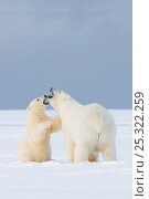 Купить «Polar bear (Ursus maritimus) young plump sow plays with a spring cub on newly formed pack ice along the arctic coast, Arctic National Wildlife Refuge, Alaska, Beaufort Sea», фото № 25322259, снято 6 июня 2020 г. (c) Nature Picture Library / Фотобанк Лори
