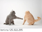 Купить «British Shorthair Cats, pair, blue and cream, one lashing out at the other», фото № 25322295, снято 25 февраля 2020 г. (c) Nature Picture Library / Фотобанк Лори