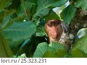 Proboscis Monkey (Nasalis larvatus) male head portrait, sitting in tree, Bako National Park, Sarawak, Borneo, Malaysia. Стоковое фото, фотограф Edwin Giesbers / Nature Picture Library / Фотобанк Лори