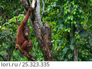 Orang utan (Pongo pygmaeus) climbing in branches of tree, Semengoh Nature reserve, Sarawak, Borneo, Malaysia, Endangered. Стоковое фото, фотограф Edwin Giesbers / Nature Picture Library / Фотобанк Лори