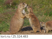 Two Blacktail Prairie Dogs (Cynomys ludovicianus) one adult, and a... Стоковое фото, фотограф John Cancalosi / Nature Picture Library / Фотобанк Лори