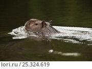 Capybara (Hydrochoerus hydrochaeris) swimming across the Rewa River, Iwokrama Reserve, Guyana. Стоковое фото, фотограф Pete Oxford / Nature Picture Library / Фотобанк Лори