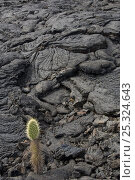 Купить «Cactus growing in Pahoehoe lava, a smooth lava with patterns formed as result of magma containing a large amount of gas, Santiago Island, Galapagos Islands», фото № 25324643, снято 13 декабря 2017 г. (c) Nature Picture Library / Фотобанк Лори