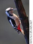 Купить «Great spotted woodpecker (Dendrocopos major) female drumming on tree branch in winter, Dorset, UK January», фото № 25325327, снято 14 ноября 2018 г. (c) Nature Picture Library / Фотобанк Лори