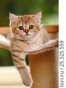 Купить «British Shorthair Cat, kitten, golden-mackerel-tabby, lying on stand with one paw reaching down», фото № 25325559, снято 20 августа 2018 г. (c) Nature Picture Library / Фотобанк Лори