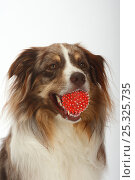 Australian Shepherd, red-merle, with red ball in mouth. Стоковое фото, фотограф Petra Wegner / Nature Picture Library / Фотобанк Лори
