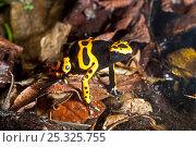 Купить «Yellow-banded Poison Dart Frog (Dendrobates leucomelas) moving over leaf litter. Captive, found in Brazil, Guyana, Venezuela», фото № 25325755, снято 29 мая 2020 г. (c) Nature Picture Library / Фотобанк Лори