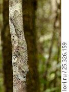 Купить «Leaf-tailed gecko {Uroplatus sikorae} camouflaged on tree trunk in rainforest, Andasibe-Mantadia National Park, Eastern Madagascar.», фото № 25326159, снято 3 апреля 2020 г. (c) Nature Picture Library / Фотобанк Лори