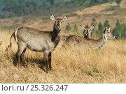 Common waterbuck (Kobus ellipsiprymnus) females, Mlilwane Wildlife Sanctuary, Swaziland. Стоковое фото, фотограф Mark Carwardine / Nature Picture Library / Фотобанк Лори