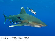 Купить «Oceanic whitetip shark (Carcharhinus longimanus) with Pilot fish (Naucrates ductor) in the open Atlantic Ocean, close to the Bahamas. Near Cat Island, Bahamas.», фото № 25326251, снято 16 января 2018 г. (c) Nature Picture Library / Фотобанк Лори
