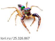 Купить «Jumping spider {Salticidae} covered in iridescent scales photographed on white background, tropical rainforest, Masoala Peninsula National Park, north east Madagascar.», фото № 25326867, снято 4 февраля 2020 г. (c) Nature Picture Library / Фотобанк Лори