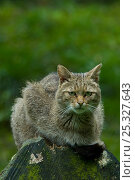 Wild cat (Felis silvestris) portrait, sitting on log, captive. Стоковое фото, фотограф Edwin Giesbers / Nature Picture Library / Фотобанк Лори