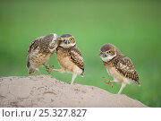 Two newly fledged burrowing owl chicks (Athene cunicularia) one being groomed by its mother (far left) Pantanal, Brazil. WINNER: Eric Hosking Award portfolio... Стоковое фото, фотограф Bence Mate / Nature Picture Library / Фотобанк Лори
