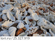 Sun bleached seashells on Shell beach, Coral coast, Westen Australia . August 2009. Стоковое фото, фотограф Jouan Rius / Nature Picture Library / Фотобанк Лори