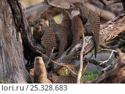 Banded mongoose (Mungos mungo) group sitting on the branch of a tree, Masai Mara National Reserve, Kenya. March. Стоковое фото, фотограф Anup Shah / Nature Picture Library / Фотобанк Лори