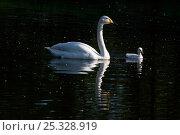 Купить «Whooper Swan (Cygnus cygnus) on water with cygnet; captive.», фото № 25328919, снято 24 марта 2019 г. (c) Nature Picture Library / Фотобанк Лори