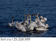 Купить «Trumpeter swan (Cygus buccinator) family groups (probably two) in display huddle preparatory to breeding season. Wintering on Mississippi River, Minnesota, USA», фото № 25328999, снято 12 декабря 2017 г. (c) Nature Picture Library / Фотобанк Лори