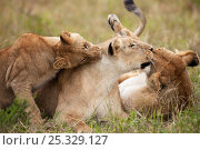 Купить «African lioness (Panthera leo) engaging with playful cubs, Masai Mara National Reserve, Kenya. March.», фото № 25329127, снято 23 января 2018 г. (c) Nature Picture Library / Фотобанк Лори