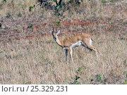 Oribi (Ourebia ourebi) Mlilwane Wildlife Sanctuary, Swaziland. Стоковое фото, фотограф Mark Carwardine / Nature Picture Library / Фотобанк Лори