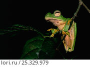 Купить «Wallace's flying frog (Rhacophorus nigropalmatus) resting on branch in lowland rainforest, Danum Valley Conservation Area, Sabah, Borneo, Malaysia.», фото № 25329979, снято 26 мая 2019 г. (c) Nature Picture Library / Фотобанк Лори