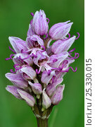 Купить «Monkey orchid (Orchis simia) flower, close-up,  La Brenne, France», фото № 25330015, снято 23 марта 2019 г. (c) Nature Picture Library / Фотобанк Лори