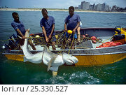Купить «Sequence 3/3 Three metre Tiger Shark (Galeocerdo cuvier) caught in anti-shark net, being hoisted into boat by three men, Durban Beach, South Africa.», фото № 25330527, снято 16 декабря 2017 г. (c) Nature Picture Library / Фотобанк Лори