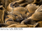 Купить «Wild boar (Sus scrofa) piglets sleeping, the Netherlands, April», фото № 25330535, снято 21 марта 2019 г. (c) Nature Picture Library / Фотобанк Лори