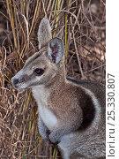 Купить «Bridled Nailtail Wallaby (Onychogalea fraenata) head portrait, Idalia National Park, Queensland, Australia. Endangered, Captive.», фото № 25330807, снято 25 января 2020 г. (c) Nature Picture Library / Фотобанк Лори