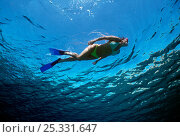 Купить «Free diver exploring blue water beside coral reef, Sinai, Egypt, Red Sea Model released Model released.», фото № 25331647, снято 24 сентября 2018 г. (c) Nature Picture Library / Фотобанк Лори