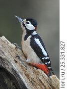 Купить «Adult male Great spotted woodpecker (Dendrocopus major) Dorset, UK, March», фото № 25331827, снято 14 ноября 2018 г. (c) Nature Picture Library / Фотобанк Лори