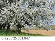 Купить «Orchard with Cherry trees in blossom (Prunus / Cerasus avium) Haspengouw, Belgium», фото № 25331847, снято 24 сентября 2018 г. (c) Nature Picture Library / Фотобанк Лори