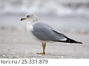 Купить «Ring-Billed Gull (Larus delawarensis) standing in profile, Sanibel Island, Florida, USA», фото № 25331879, снято 18 июня 2019 г. (c) Nature Picture Library / Фотобанк Лори